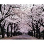 the Japanese cherry blossoms
