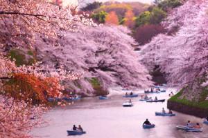 cherryblossoms-boats